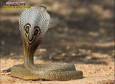 眼镜蛇(有毒蛇)详细资料、图片及品种介绍