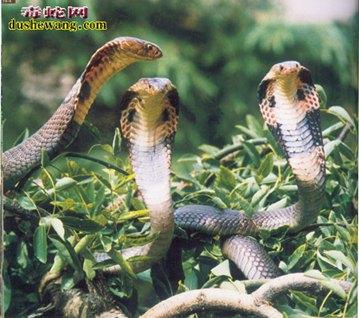 眼镜蛇图片2