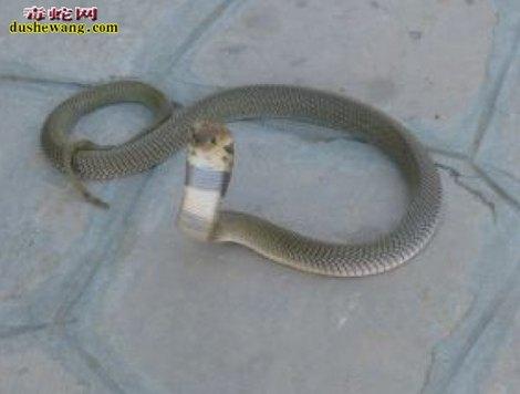 眼镜蛇图片3