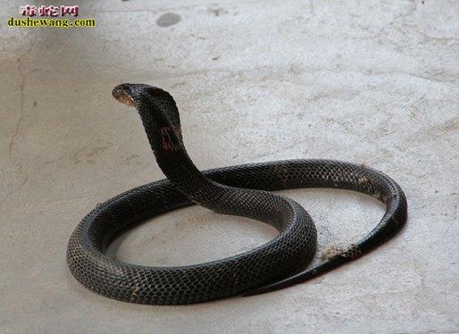 眼镜蛇图片6