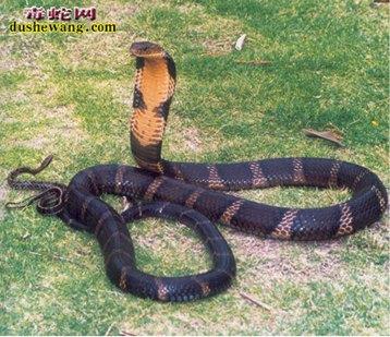 眼镜王蛇(有毒蛇)详细资料、图片及品种介绍