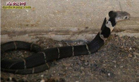 眼镜王蛇图片2