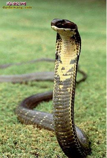 眼镜王蛇图片3