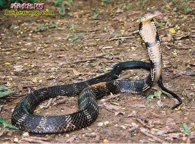 眼镜王蛇图片5