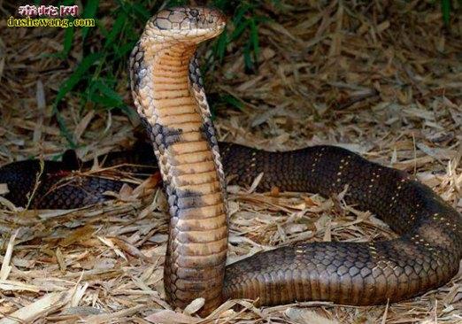 眼镜王蛇图片6
