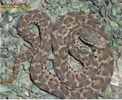 蝮蛇(有毒蛇)详细资料、图片及品种介绍