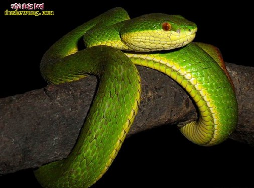 竹叶青蛇(有毒蛇)详细资料、图片及品种介绍