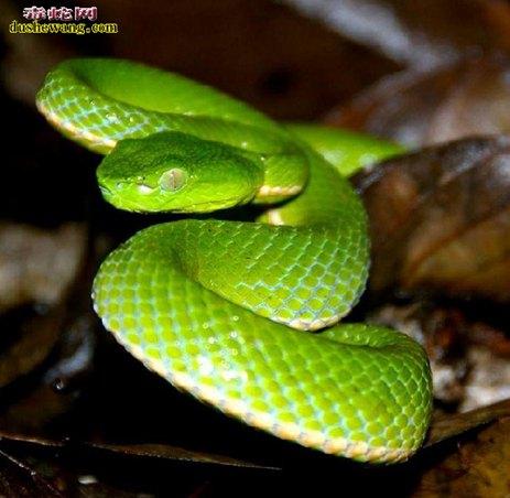 竹叶青蛇图片2