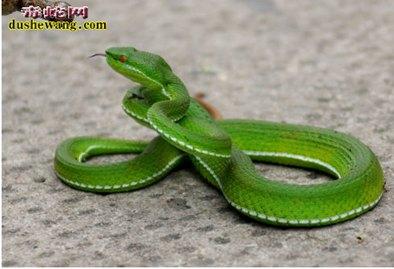 竹叶青蛇图片3