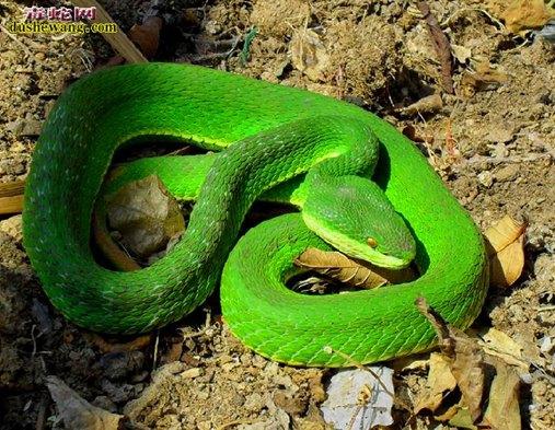 竹叶青蛇图片4