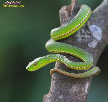 竹叶青蛇图片5