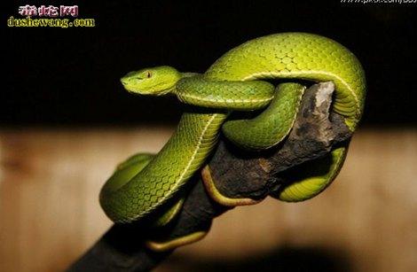 竹叶青蛇图片6