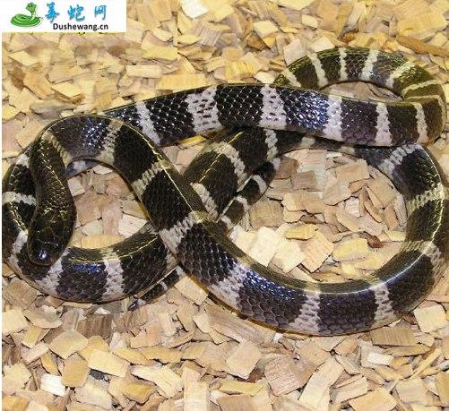 银环蛇(有毒蛇)详细资料、图片及品