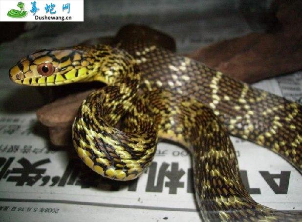 王锦蛇/大王蛇(无毒蛇)详细资料、