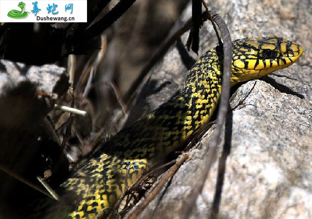 王锦蛇/大王蛇图片2