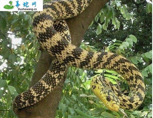 王锦蛇/大王蛇图片4