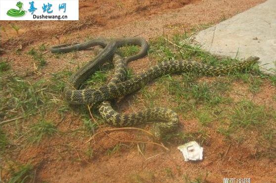 王锦蛇/大王蛇图片5
