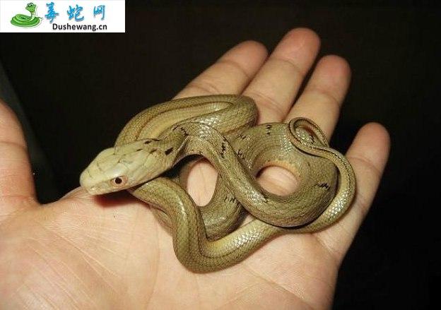 王锦蛇/大王蛇图片6