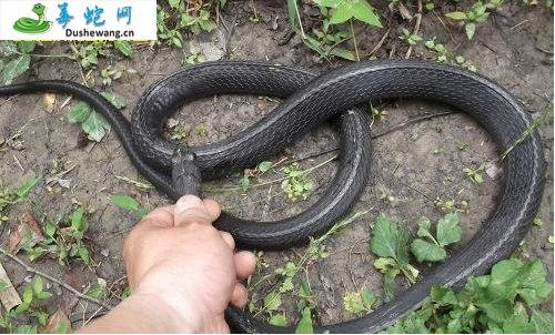 乌梢蛇图片2
