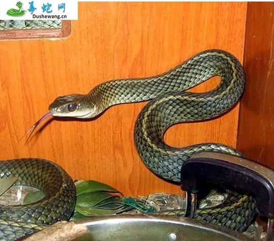 乌梢蛇图片3