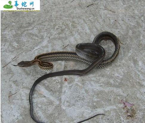 乌梢蛇图片4
