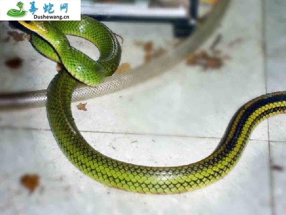 乌梢蛇图片5