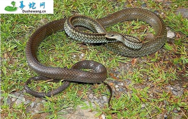 乌梢蛇图片6