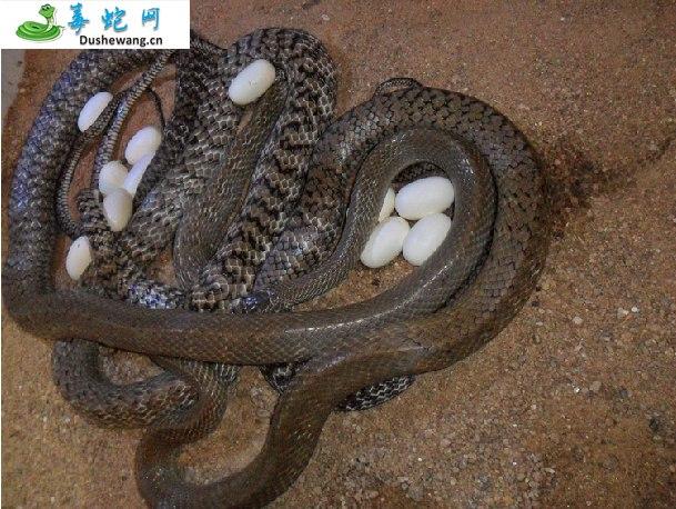 水律蛇、南蛇、滑鼠蛇(无毒蛇)详细资料、图片及品种介绍
