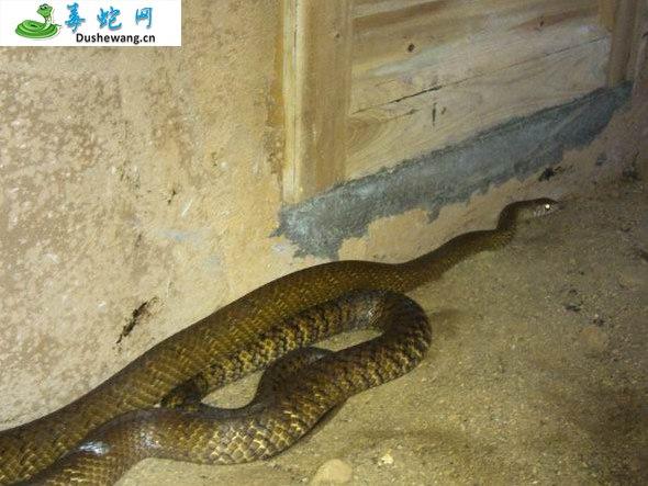 水律蛇、南蛇、滑鼠蛇图片2