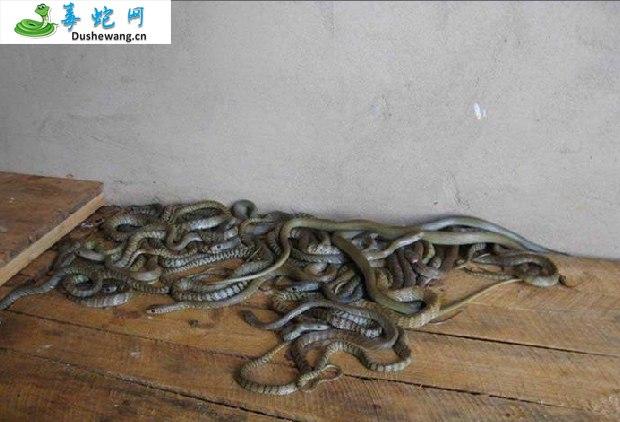 水律蛇、南蛇、滑鼠蛇图片4