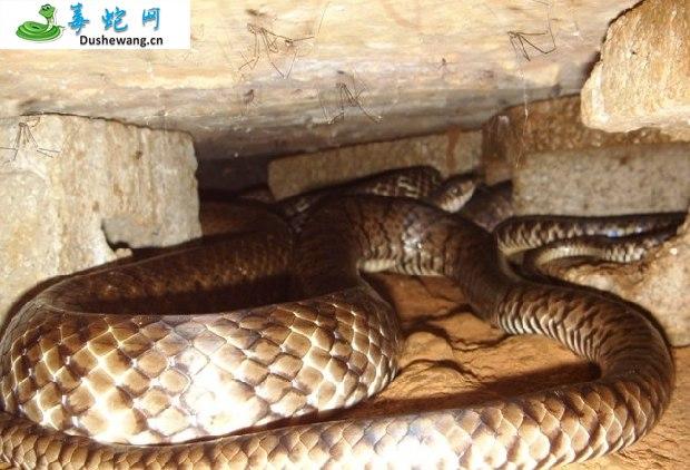 水律蛇、南蛇、滑鼠蛇图片5