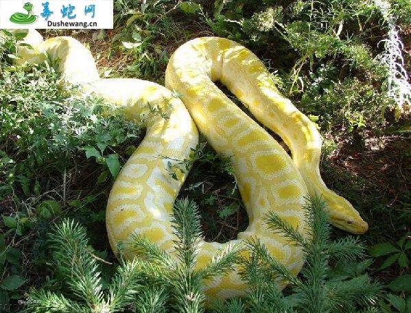 蟒蛇图片5