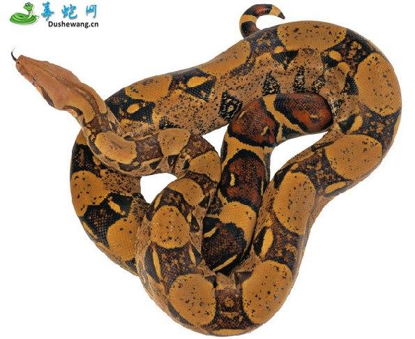 蟒蛇图片6