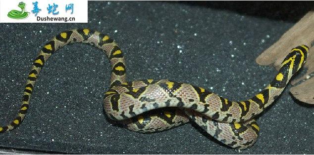 玉斑锦蛇(无毒蛇)详细资料、图片及