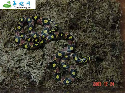 玉斑锦蛇图片2