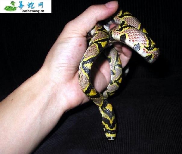 玉斑锦蛇图片3