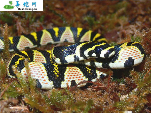 玉斑锦蛇图片4