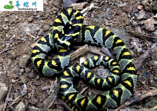 玉斑锦蛇图片5
