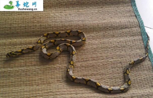 玉斑锦蛇图片6