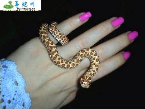 猪鼻蛇(微毒蛇)详细资料、图片及品种介绍