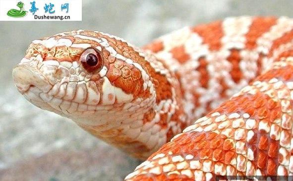 西部猪鼻蛇(微毒蛇)详细资料、图片及品种介绍