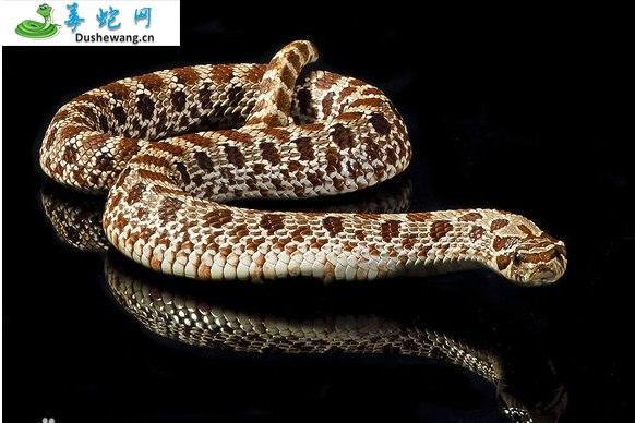 东部猪鼻蛇(微毒蛇)详细资料、图片及品种介绍
