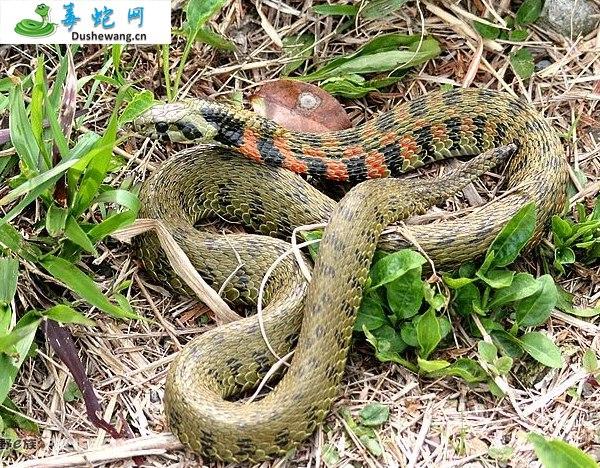虎斑游蛇(微毒蛇)详细资料、图片及品种介绍