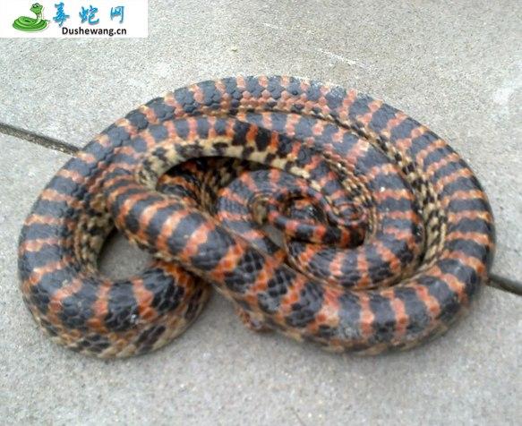 赤练蛇(微毒蛇)详细资料、图片及品种介绍