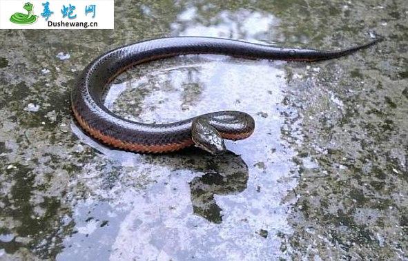 中国水蛇(微毒蛇)详细资料、图片及品种介绍