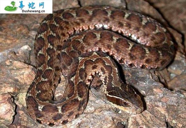 白眉蝮蛇(有毒蛇)详细资料、图片及