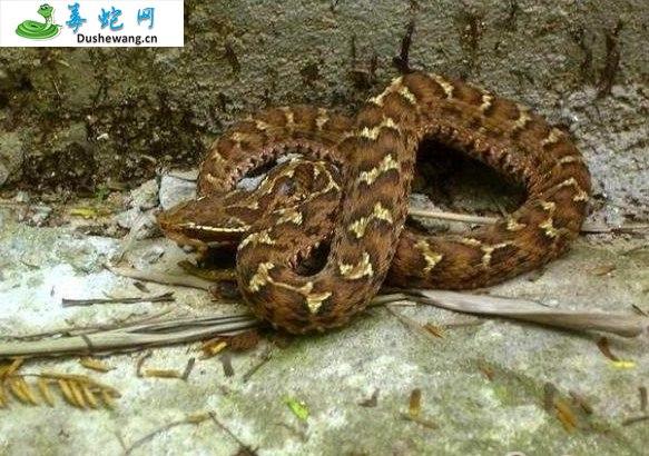 白眉蝮蛇图片2