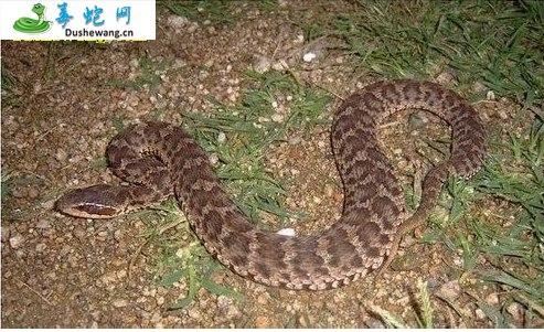白眉蝮蛇图片3
