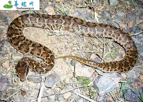 白眉蝮蛇图片4