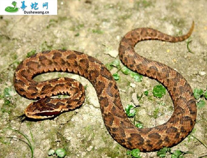 白眉蝮蛇图片5
